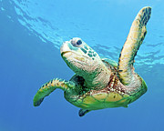Green Turtle Posters - Sea Turtle Poster by Monica and Michael Sweet
