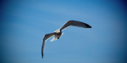 Photography Birds - Seagull in Flight by Steven Natanson