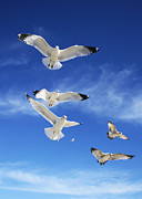 Flying Seagulls Originals - Seagulls Ascending by Sheila Kay McIntyre