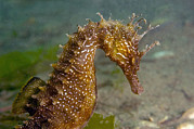Hippocampus Photos - Seahorse by Louise Murray