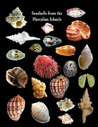 Seashell Art Prints - Seashells from the Hawaiian Islands Print by Daniel Goodwin