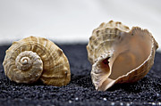 Contrast Posters - Seashells On Black Sand Poster by Joana Kruse