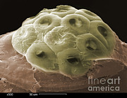 Scanning Electron Micrograph Prints - Sem Of A Head Lice Eggs Print by Ted Kinsman