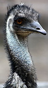 """animal Photographs"" Prints - Serious Emu Print by Tam Graff"