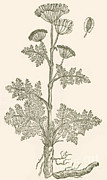 Apiaceae Posters - Seseli, Herbaceous Perennial Poster by Science Source