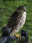 Sharp-shinned Hawk Print by TommyJohn PhotoImagery LLC