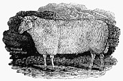 Bewick Framed Prints - Sheep, 1798 Framed Print by Granger