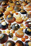 Marine Mollusc Metal Prints - Shell Background Metal Print by Carlos Caetano