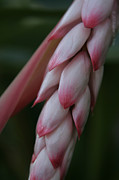 Ginger Flower Digital Art Posters - Shell Ginger Alpinia zerumbet Zingerberaceae Maui Hawaii Poster by Sharon Mau