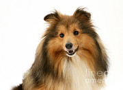 Sheltie Print by Jane Burton