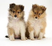 Sable Sheltie Posters - Sheltie Puppies Poster by Jane Burton