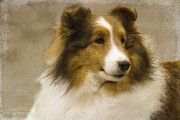 Sheltie Framed Prints - Sheltie Framed Print by Rebecca Cozart