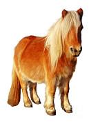Mark Taylor - Shetland Pony