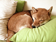 Sleeping Dog Posters - Shiba Inu Poster by Jasonlingo
