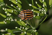 Stink Bug Posters - Shield Bug Poster by Bob Gibbons