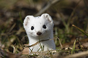 Frontal Metal Prints - Short-tailed Weasel Mustela Erminea Metal Print by Konrad Wothe