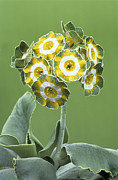 Primula Auricula Photos - Show Auricula hinton Fields Flowers by Archie Young