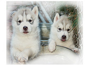Puppies Framed Prints - Siberian Husky Puppies Framed Print by Jean Gugliuzza
