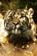 Panthera Photo Posters - Siberian Tiger Poster by Victor Habbick Visions
