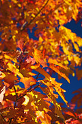 Autumn Leaf Photos - Sierra Autumn Leaves in Orange and Gold by ELITE IMAGE photography By Chad McDermott