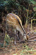 Forest Floor Framed Prints - Sika Deer Framed Print by Adrian Bicker