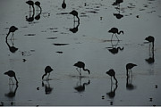 Flamingos Art - Silhouetted Migratory Flamingos Feeding by Joel Sartore