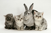 Cute Kitten Photo Posters - Silver Exotic Kittens And Silver Rex Poster by Jane Burton