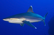 Sharks Photo Posters - Silvertip Shark, Kimbe Bay, Papua New Poster by Steve Jones