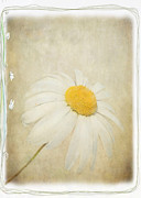 Julie Williams Metal Prints - Simple Daisy Metal Print by Julie Williams