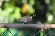 Sparrow Prints - Sitting on a Fence Print by Bill Cannon