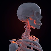 Biomedical Illustration Art - Skeleton, Artwork by Andrzej Wojcicki