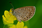 Macro Photos - Skipper Butterfly  by Arj Munoz