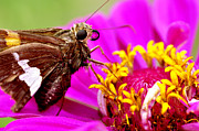 Feeding Photos - Skipper on Zinnia  by Thomas R Fletcher