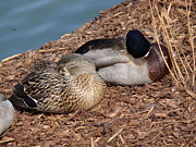 Matting Pyrography Prints - Sleeping Ducks Print by Valia Bradshaw