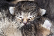 Sleeping Baby Animals Posters - Sleeping Kitten Poster by Michal Boubin