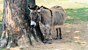 Donkeys Art - Sleepy Sardarian by Jan Amiss Photography