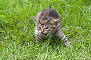Animal Humor Prints - Small Kitten In The Grass Print by Michal Boubin