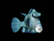 Fish Prints - Smooth Trunk Fish Print by Mark Christian