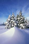 Winter Scenes Rural Scenes Prints - Snow-covered Pine Trees Print by Natural Selection Craig Tuttle
