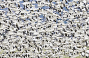 Snow Geese Art - Snow Geese Chen caerulescens wintering at the Skagit River del by Ed Book