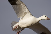 Flying Snow Goose Prints - Snow Goose Flying Bosque Del Apache Print by Sebastian Kennerknecht