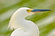 Fort Myers Art - Snowy Egret by Rich Leighton