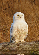 Golden Eyes Originals - Snowy Owl by Adrienne Smith