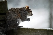Forest Dweller Posters - Snowy Squirrel Poster by Crissy Sherman