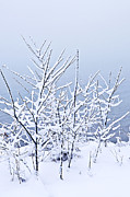 Snowstorm Photos - Snowy trees by Elena Elisseeva