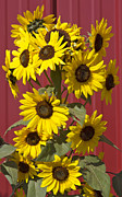 Flowers Sunflowers Barn Prints - So many sunflowers Print by Elvira Butler