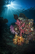 Raja Ampat Photos - Soft Coral And Sunburst In Raja Ampat by Todd Winner