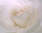 Macro Art - Softness of a White Rose Flower by Jennie Marie Schell