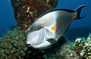 Africa-north Photos - Sohal Surgeonfish by Georgette Douwma