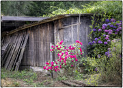 Wooden Building Posters - Somewhere near Geyserville CA Poster by Joan Carroll